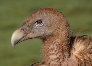 Vultures of Tibet